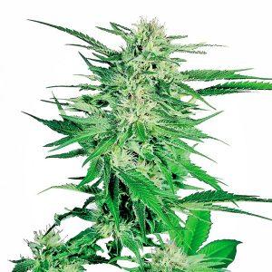 Big Bud Seeds Regular