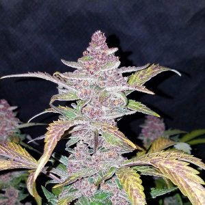 blackberry auto fast buds
