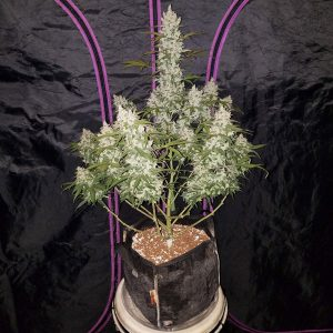 girl_scout_cookies_auto_fast_buds_freedom