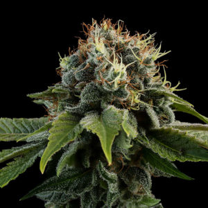 Kush #6 Freedom Seeds Cannabis