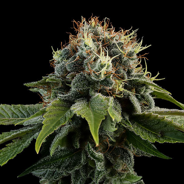 Kush #6 Freedom Seeds Cannabis