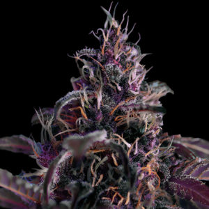 Midnight Express Auto Freedom Seeds Cannabis