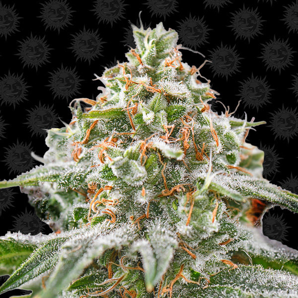 barneys_farm_pink_kush