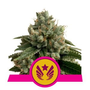 Legendary Punch - Royal Queen Seeds