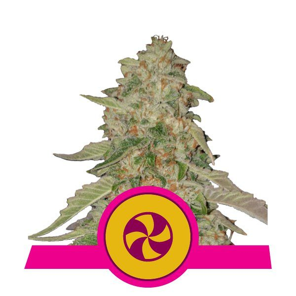 Sweet Zkittlez - Royal Queen Seeds