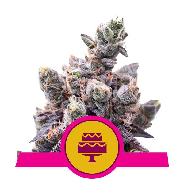 Wedding Gelato - Royal Queen Seeds