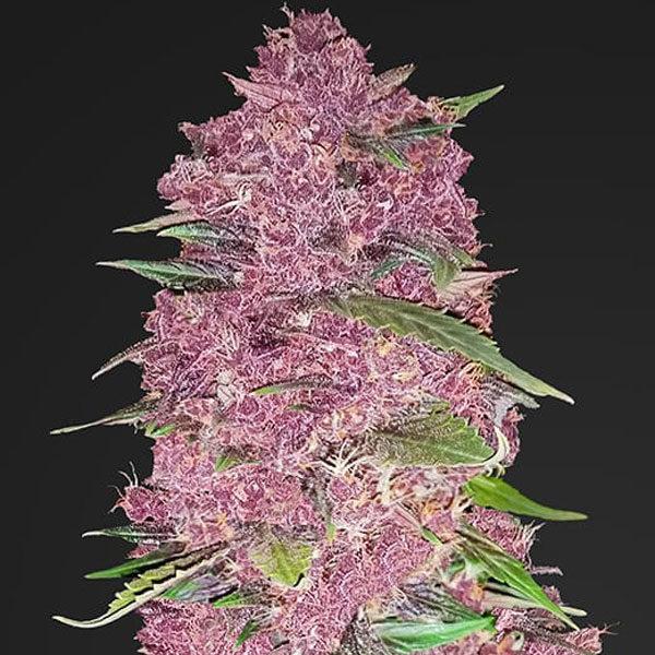 Purple Lemonade Auto - Fast Buds Seedbank
