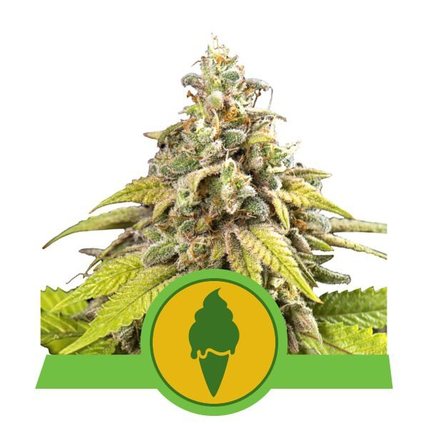 Green Gelato Automatic- Royal Queen Seeds