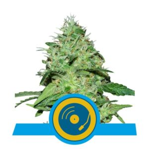 Royal Queen Seeds - Joanne's CBD